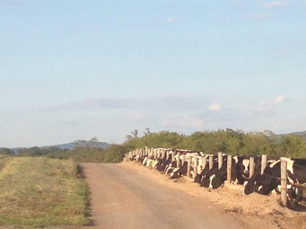 cattle feeding 2014
